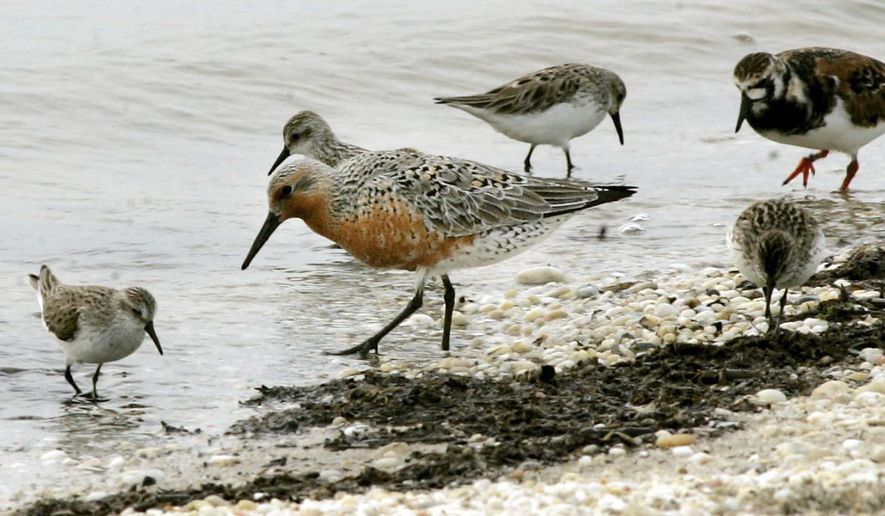 FILE -  In this May 23, 2005, photograph, a red knot, center, feeds among ruddy turnstones and sanderlings along the Delaware Bay shoreline in Middle Township, N.J. On Tuesday, Dec. 9, 2014, the federal government has ruled that the rust-colored shorebird known for its long migration is a threatened species. The U.S. Fish and Wildlife Service listed the red knot as threatened after a 14-month review.  (AP Photo/The Press of Atlantic City, Dale Gerhard,file)