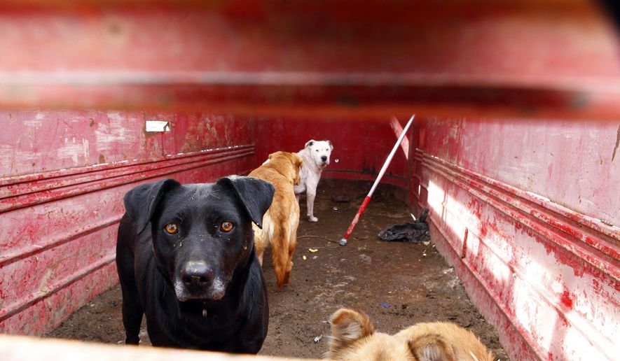 This Nov. 21, 2014 photo shows a group of dogs in the back of a trailer that were rounded up to be killed on the Pine Ridge Indian Reservation in South Dakota.  The dogs were rounded up as a part of  Braedon's Law, a tribal ordinance that bans several dog breeds.  Braedon Rodriguez  was the victim of a dog attack 11 years ago that inspired the passage of the law.  (AP Photo/Rapid City Journal, Chris Huber) TV OUT