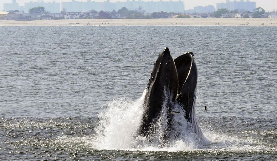 In this June 2014 photo provided by Gotham Whale, a humpback whale breaks through the surface of the Atlantic Ocean just off a beach on the Rockaway peninsula near New York City. Humpbacks have been approaching the city in greater numbers than in many years; there were 87 sightings in nearby waters from a whale-watching boat in 2014. (AP Photo/Gotham Whale/Dennis Guiney)
