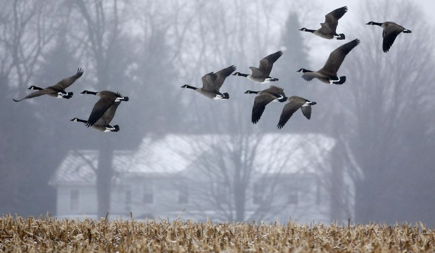 Canada geese take flight from a snow-covered corn lot in light rain on Wednesday, Dec. 10, 2014, in Castleton, N.Y. A slow-moving coastal storm has dumped more than a foot of snow on parts of upstate New York, knocking out power to more than 10,000 utility customers, closing or causing delayed starts for scores of schools and shutting down a Syracuse-area highway. (AP Photo/Mike Groll)