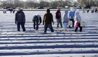 Laborers work the strawberry fields in California.  (AP Photo)