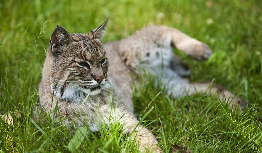 In this June 1, 2011 photo, a bobcat rests near the glass of the exhibit at the Henson Robinson Zoo in Springfield, Ill. Once on the threatened species list for more than two decades until 1999, the nocturnal, territorial big cats have made such a comeback that Illinois lawmakers have declared open season on them, approving a measure this month allowing bobcat hunting in the state for the first time in more than 40 years. (AP Photo/The State Journal-Register, Justin L. Fowler)