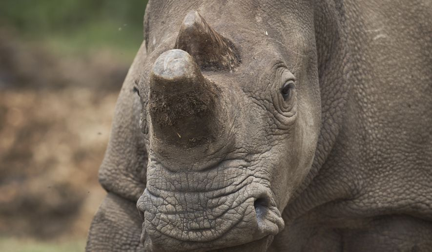 In this photo taken Tuesday, Dec. 2, 2014, female northern white rhino Fatu grazes in the Ol Pejeta Conservancy in Kenya. The keepers of three of the last six northern white rhinos on Earth said Wednesday, Dec. 10, 2014 that it is highly unlikely the three will ever reproduce naturally, with recent medical examinations of them showing the species is doomed to extinction, unless science can help. (AP Photo/Ben Curtis)