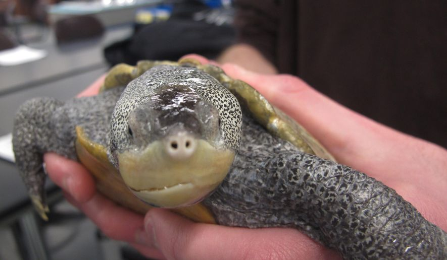An adult diamondback terrapin turtle is held by a student at the Marine Academy of Technology and Environmental Science in Manahawkin, N.J. on Tuesday Dec. 16, 2014. Students who study and care for turtles at the school recently got New Jersey legislators to introduce a bill that would make it illegal to catch or take the turtles from the wild. (AP Photo/Wayne Parry)