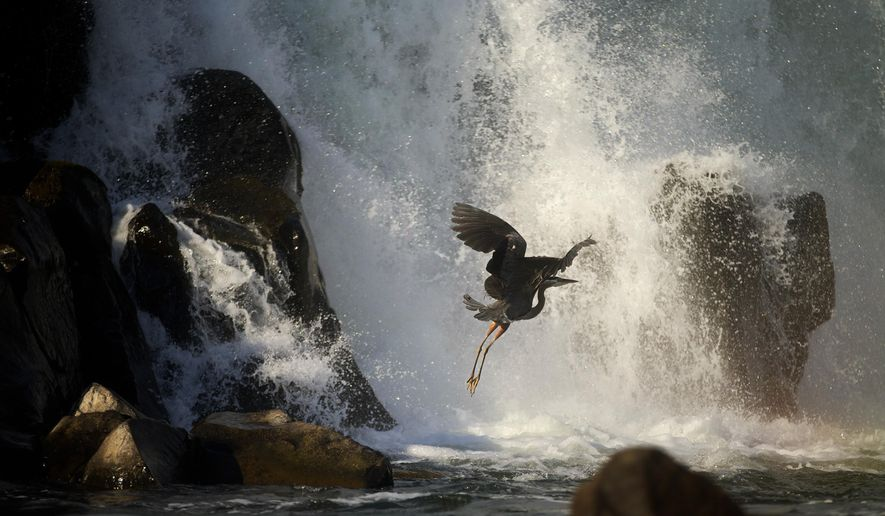 In this photo taken on June 29, 2013, a great blue heron takes flight at the base of the Willamette Falls in Oregon City, Ore. After remaining obscured from view for more than a century, Willamette Falls is slated to reopen to the public as part a grand riverfront redevelopment project near downtown Oregon City.  (AP Photo/The Oregonian, Thomas Boyd )  MAGS OUT; TV OUT; NO LOCAL INTERNET; THE MERCURY OUT; WILLAMETTE WEEK OUT; PAMPLIN MEDIA GROUP OUT