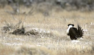 This April 2011 file photo provided by Colorado Parks and Wildlife shows a male and female Gunnison sage grouse near Gunnison, Colo. New research could have implications for sheep and cattle grazing in the habitat of the ground-dwelling bird that environmentalists are trying to protect across the Rocky Mountain region. A study published in the December issue of Wildlife Biology suggests grass height can have a big influence on the nesting success of the greater-sage grouse. (AP Photo/Colorado Parks and Wildlife, Mike Danzenbaker, File)