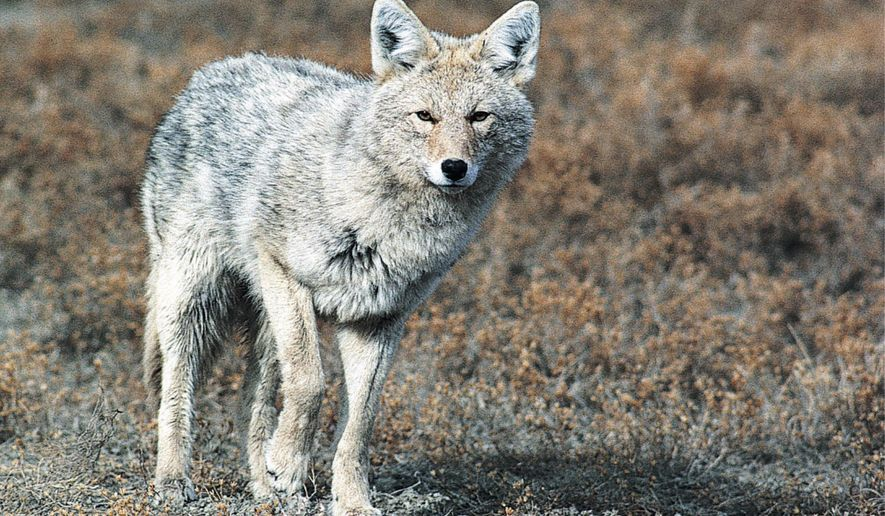 FILE - This undated file photo provided by the North Dakota Game and Fish Department shows a coyote.  North Dakota's state agriculture and wildlife departments have launched the third year of a program that connects landowners plagued by coyotes with hunters and trappers who can address the problem. (AP Photo/North Dakota Game and Fish Department, File)