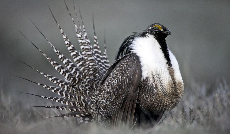 FILE - This April 2014 photo provided by Colorado Parks and Wildlife shows a Gunnison sage grouse with tail feathers fanned near Gunnison, Colo. U.S. officials say they will decide next year whether the wide-ranging Western bird species needs protections even though Congress has blocked such protections from going into effect. That means wildlife officials could determine the greater sage grouse is heading toward possible extinction, but they would be unable to intervene under the Endangered Species Act. (AP Photo/Colorado Parks and Wildlife, Dave Showalter, File)