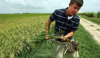 FILE - In this April 21, 2010 file photo, economist and rice farmer Thomas Wynn pulls a rice plant from the ground to show its shallow root system, making it ideal for growing in the soil found in much of Wharton County in East Bernard, Texas. U.S.-Cuba trade is poised to resume after President Barack Obama on Wednesday, Dec. 17, 2014 announced plans to re-establish diplomat relations with Havana, and economic ties are expected to follow. (AP Photo/Austin American-Statesman, Alberto Martinez, File) AUSTIN CHRONICLE OUT, COMMUNITY IMPACT OUT; INTERNET AND TV MUST CREDIT PHOTOGRAPHER AND STATESMAN.COM; MAGS OUT