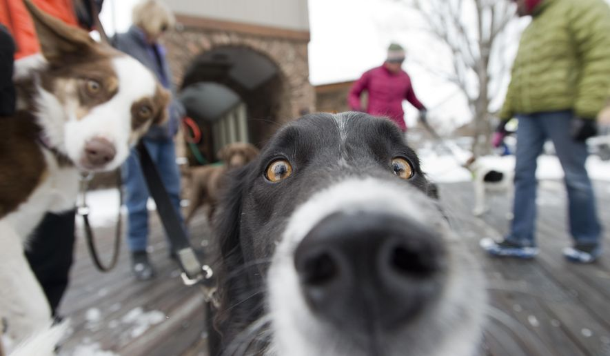 Dogs, Hank, center, and Mocha, left, stand with their owner in front of the Jackson Town Hall on Monday, Dec. 15, 2014 in Jackson, Wyo.   The Jackson Town Council agreed at a meeting Monday to get the process started to create a dog park at Powderhorn Park. (AP Photo/Jackson Hole News & Guide, Bradly J. Boner)