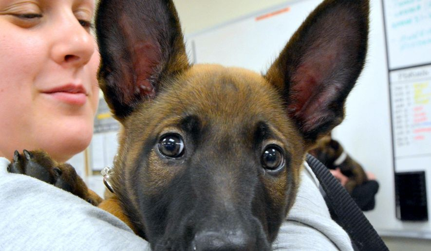 Fflint, a 6-week-old Belgian Malinois from the Department of Defense Military Working Dog Center at Lackland Air Force Base in San Antonio, is held at the Fort Hood Military Working Dog Kennel in Fort Hood, Texas on Friday, Dec. 12, 2014. Foster families will socialize the dogs, and once the puppies are 7 months old, they will return to Lackland to enter into a military training program. (AP Photo/Killeen Daily Herald, Bryan Correira)