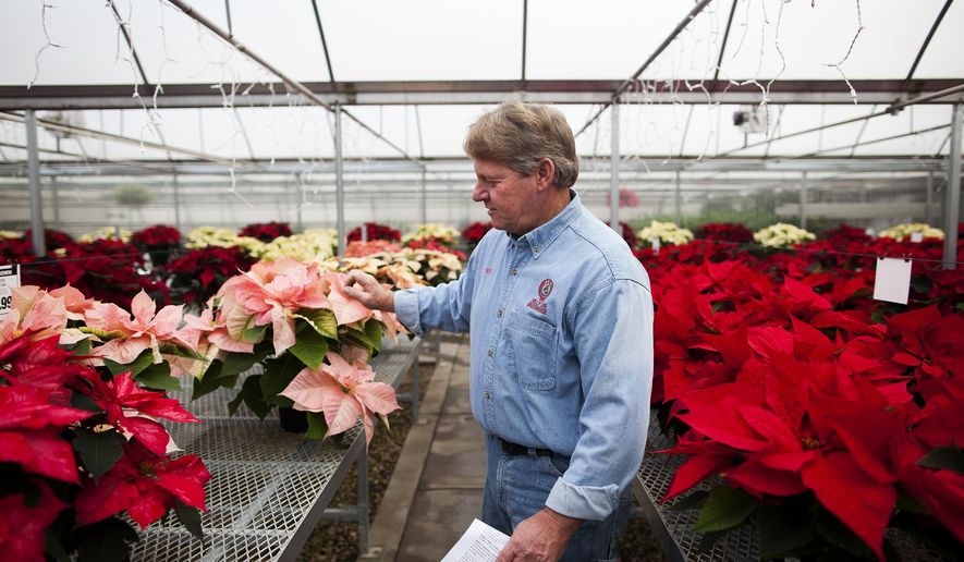 ADVANCE FOR USE SUNDAY, DEC. 21 - In this photo taken on Dec. 2, 2014, Scott Sime, of Jolly Lane Greenhouse, touches the leaves of a pink poinsettia plant in his greenhouse outside of Rapid City, S.D. Poinsettias are popular during the holiday season due to their vibrant colored leaves that bloom in the winter. (AP Photo/Rapid City Journal, Josh Morgan) ) TV OUT
