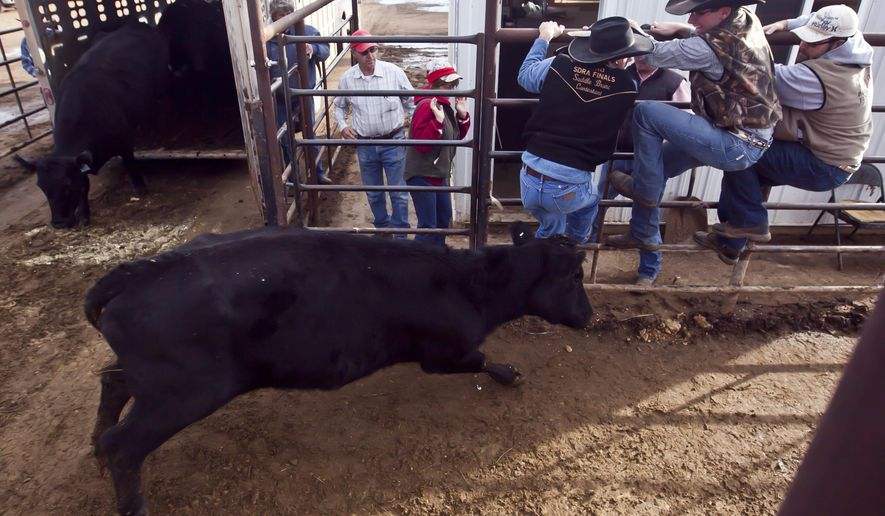 In this photo taken on Friday, Dec. 12, 2014, a temperamental cow attempts to knock South Dakota Brand Inspectors, from left, Justin Mello, Jesse Cotton and William Davey off the fence as they climbed to get out of the way,  before the start of the weekly cattle sale at the St. Onge Livestock auction in St. Onge, S.D. Cattle ranchers have been taking advantage of record cattle prices over the past 14 months, keeping the St. Onge Livestock Company auction busy. (AP Photo/Rapid City Journal, Sean Ryan) TV OUT (REV-SHARE)