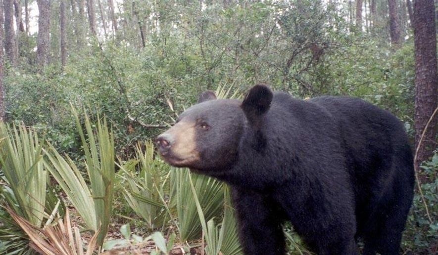 A 15-year-old girl is recovering after being attacked by a bear while she was walking her dog in Florida's panhandle Sunday night. (Wikipedia)
