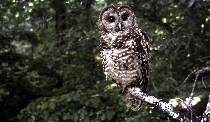 FILE  - This June 1995 file photo shows a Northern Spotted owl taken in Point Reyes, Calif. Loggers cutting down forests burned in wildfires could bring about the extinction of California spotted owls, wildlife advocates said Tuesday, Dec. 23, 2014, as they sought protection for the birds under the federal Endangered Species Act. (AP Photo/Tom Gallagher, file)