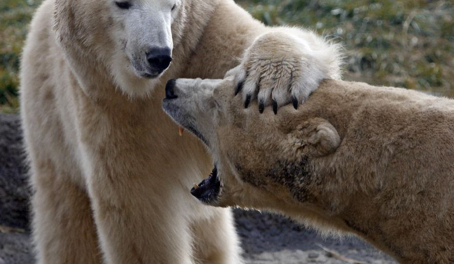 In this Nov. 19, 2012 photo, polar bear Aurora, left, a female, gets acquainted with Nanuq, a male, during their first 24 hours together at the Columbus Zoo and Aquarium. The Columbus Zoo and Aquarium says two polar bear cubs born there over the weekend have died. Zoo spokeswoman Patty Peters says both cubs likely died on Saturday, the day they were born to Aurora. The cubs were 7-year-old Aurora's first babies. (AP Photo/The Columbus Dispatch, Tom Dodge)
