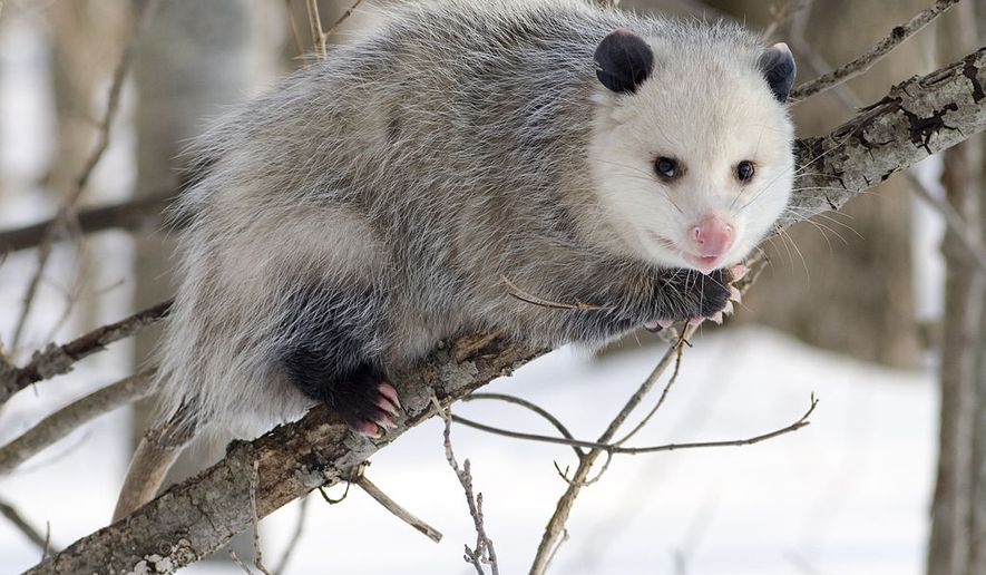 """The annual New Year's Eve """"Possum Drop"""" in a small North Carolina town will go on as planned without a live opossum this year following a lawsuit from People for the Ethical Treatment of Animals."""