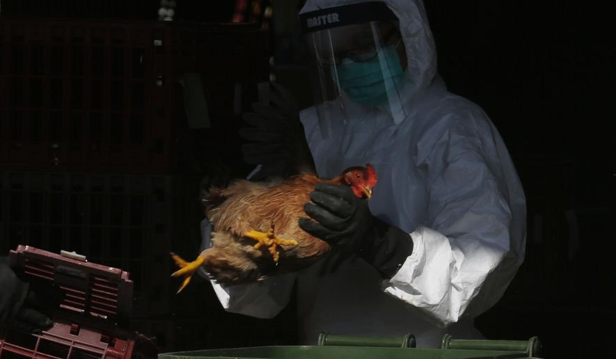 A health worker in full protective gear places a live chicken in a rubbish bin as he starts culling all chickens by using carbon dioxide at a wholesale poultry market in Hong Kong, Wednesday, Dec. 31, 2014. Authorities in Hong Kong have begun destroying 15,000 chickens at a poultry market and suspended imports from mainland China after bird flu was found in some birds. (AP Photo/Kin Cheung)