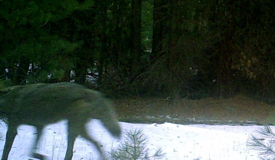 This Jan. 5, 2015 remote camera photo provided by the Oregon Department of Fish and Widllfie shows a wolf in the timberlands west of Keno, Ore. Biologists say the wolf was spotted in an area once frequented by Oregon's famous wandering wolf, OR-7, before he established a pack on the nearby Rogue River-Siskiyou National Forest. The sighting confirms that wolves continue to spread across the West after being reintroduced in the Northern Rockies in the 1990s. The area is not far form the Rogue Umpqua Divide, where Oregon's last known wolf was shot in 1946 before they started moving back into the state. (AP Photo/Oregon Department of Fish and Wildlife)