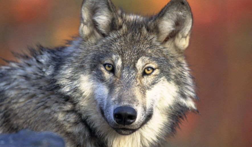 FILE - In this April 18, 2008 file photo provided by the U.S. Fish and Wildlife Service  is a gray wolf.  The wolves removal from the endangered list is being disputed in Minnesota, Wisconsin and Michigan. (AP Photo/U.S. Fish and Wildlife Service, Gary Kramer, File)