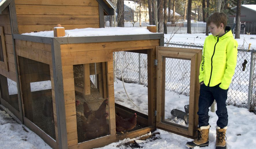 In a Sunday, Jan. 11, 2015 photo, Isaiah Parrish, 12, opens the door on the family's chicken coup to let the inhabitants out, at their home in the Wandermere area of Spokane, Wash. Backyard poultry producers in Washington are being told by state officials to monitor their flocks after a deadly avian flu outbreak in the Tri-Cities area. The Spokesman-Review reported Wednesday, Jan. 14 that some of the birds died from the fast-acting H5N2 avian influenza, which poses little risk to people. (AP Photo/The Spokesman-Review, Jesse Tinsley)  COEUR D'ALENE PRESS OUT