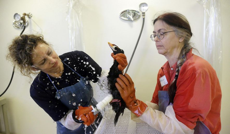 Volunteers Susan Kaveggia, left, and Susan McCarthy wash a male surf scoter at International Bird Rescue, Tuesday, Jan. 20, 2015, in Fairfield, Calif. The death of 100 birds in the San Francisco Bay Area has baffled wildlife officials who say the feathers of the birds were coated with a mysterious substance that looks and feels like rubber cement. (AP Photo/Marcio Jose Sanchez)