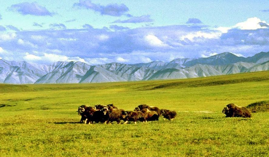 A herd of musk ox graze in an area of the Arctic National Wildlife Refuge in Alaska, known as Area 1002, in this undated file photo. (AP Photo/Arctic National Wildlife Refuge, File) ** FILE **