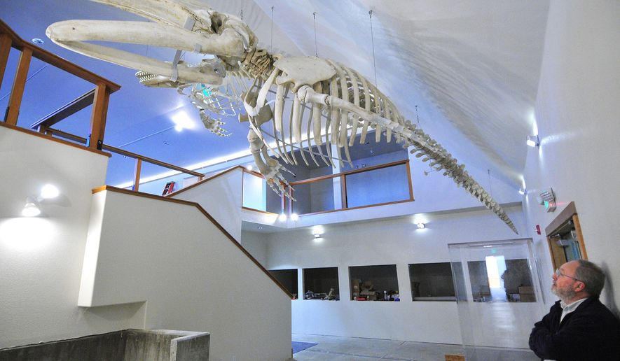 In a Jan. 21, 2015 photo, Craig Young, director of the Oregon Institute of Marine Biology in Charleston. Ore., looks up at the skeletons of two marine mammals, a California gray whale in front and an Orca in the back. The two mammals are hanging from the ceiling of the Charleston Marine Life Center under construction. Years in the making, it is getting closer to opening this spring. (AP Photo/The World, Lou Sennick) No sales and no magazines.