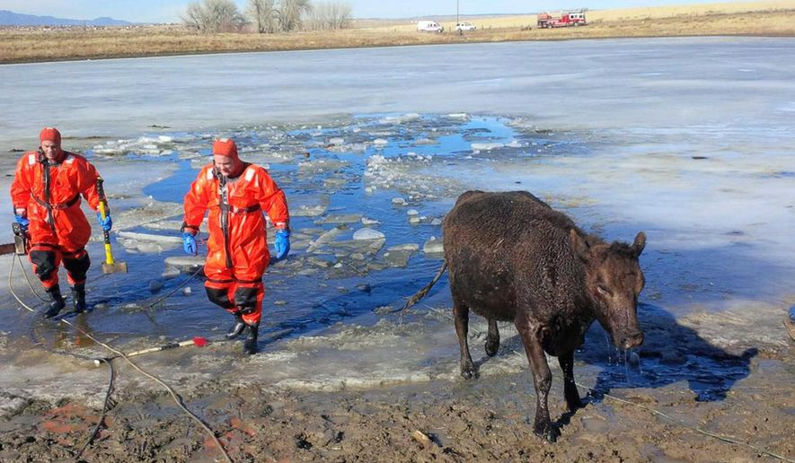 In this photo provided by the Fountain Fire Department, a cow walks away from an icy pond after firefighters, at left, rescued it and another cow that had plunged through the ice on the pond, in Fountain, Colo., Tuesday, Jan. 27, 2015. Fountain Fire Chief Darin Anstine said it was unclear how long the cows had been in the water before a motorist spotted them, but they're now doing fine. (AP Photo/Fountain Fire Department, Darin Anstine)
