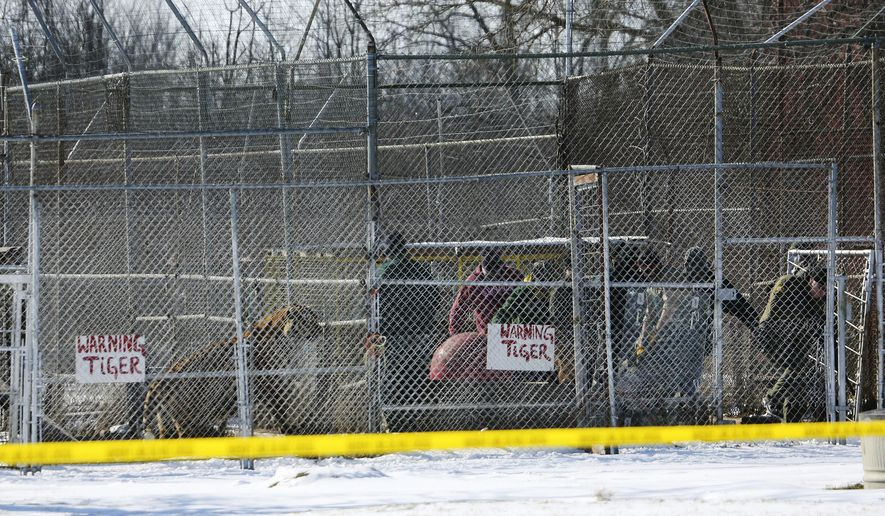 A tiger watches as a tranquilized animal is removed by state officials from the Tiger Ridge Exotics animal facility in Stony Ridge, Ohio, Wednesday, Jan. 28, 2015. A Wood County Common Pleas judge later halted the transfer order of exotic animals from the Stony Ridge farm, ordering that they be returned to the property they were seized from earlier in the day. (AP Photo/The Blade, Dave Zapotosky)  MANDATORY CREDIT; MAGS OUT; NO SALES; TV OUT; SENTINEL-TRIBUNE OUT; MONROE EVENING NEWS OUT; TOLEDO FREE PRESS OUT