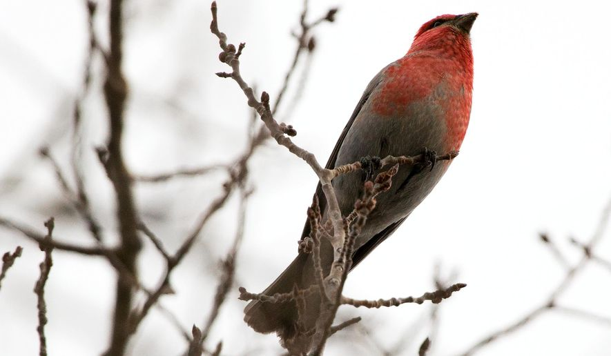 A pine grosbeak rests in a tree near Sourdough Creek in Bozeman, Mont.,  Jan. 19, 2015.  The pine grosbeak, a robin-sized finch, summers in the boreal forest of northern Canada, except for a small band extending south along the Rocky Mountains where the birds remain year-round. (AP Photo/Daily Chronicle, Ben Pierce)