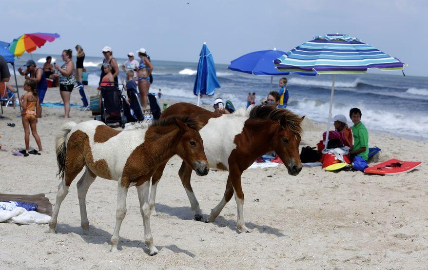 Maryland 419k Wild Horses Roam On South Ocean Beach At Ateague Island National Seas