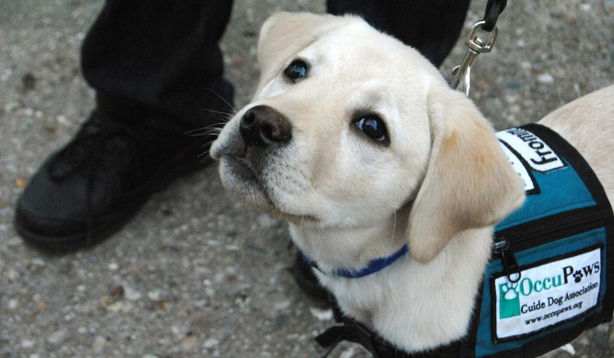 FOR RELEASE SATURDAY, JANUARY 31, 2015, AT 12:01 A.M. CST. - In this photo taken on Jan. 12, 2015, Braille, a 15-week-old yellow lab, waits for a treat from her trainers, Beloit, Wis., residents Kurt and Kristy Handrich. The couple are puppy trainers for OccuPaws Guide Dog Association, a non-profit organization in Madison, that trains puppies to be guide dogs. The dogs are given to the client free of charge. (AP Photo/The Beloit Daily News, Shaun Zinck)