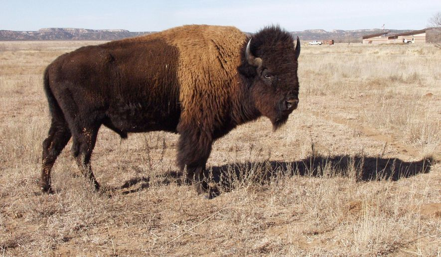 In this Jan. 6, 2015 photo, a buffalo roams the grassland at Caprock Canyons State Park, Texas. Caprock Canyons State Park, northeast of Lubbock, is one of the few places you're able to see buffalo, and you're lucky you can even see them there. North America's bison herd once thinned dangerously close to extinction. (AP Photo/The Avalanche-Journal, Josie Musico)