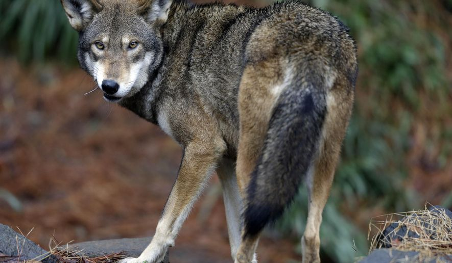 In this photo taken Tuesday, Jan. 13, 2015, a male red wolf enjoys a feeding in it's habitat at the Museum of Life and Science in Durham, N.C. North Carolina wildlife officials are asking the federal government to declare red wolves extinct in the wild and end three decades of efforts to reintroduce the endangered species in the state. (AP Photo/Gerry Broome)