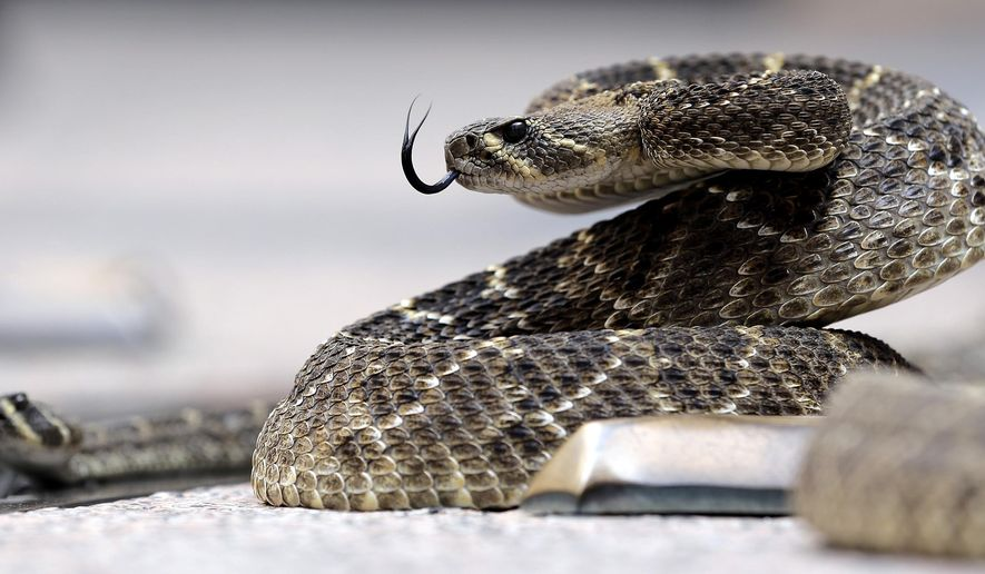 A rattlesnake coils in the outdoor rotunda at the Capitol, Monday, Feb. 2, 2015, in Austin, Texas. Members of the Sweetwater Jaycees brought rattlesnakes to promote their annual rattlesnake round-up and help educate visitors. (AP Photo/Eric Gay)