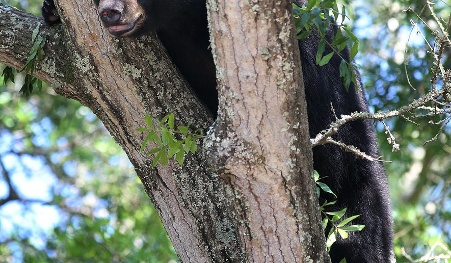 FILE - On this May 6, 2014 file photo, a black bear perches on a tree in Panama City, Fla. With Florida's black bears rebounding from near extinction, clashes with humans are on the rise, and the state is considering a limited hunting season as part of the solution. (AP Photo/News Herald, Andrew Wardlow, File)