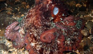 A giant pacific octopus is seen in the Puget Sound near Seattle. Every year, the Seattle Aquarium enlists the help of volunteer divers to search and count giant pacific octopus in the Puget Sound for an underwater census. (AP Photo/Andrea Petersen) ** FILE **