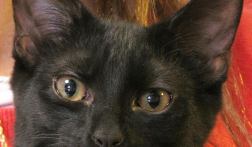 Peyton, a black cat, is held while in her temporary foster home in Lacey Township, N.J., on Thursday, Feb. 12, 2015.  The founder of a cat rescue group that placed Peyton in a temporary home says black cats are the hardest to place for adoption because some people don't want them, based on superstition.   (AP Photo/Wayne Parry)