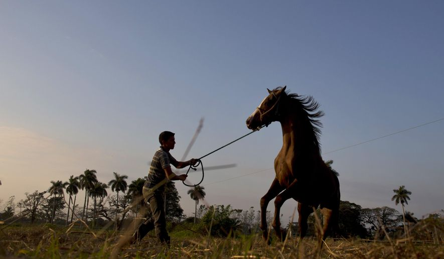 In this Feb. 4, 2015 photo, a man trains a horse at the state-run Azucarero horse ranch in Artemisa, Cuba. Already renowned for fine rum and fancy cigars, Cuba is carving out a new luxury niche that is attracting Latin American elites to the communist-run island: thoroughbred jumping horses. (AP Photo/Ramon Espinosa)