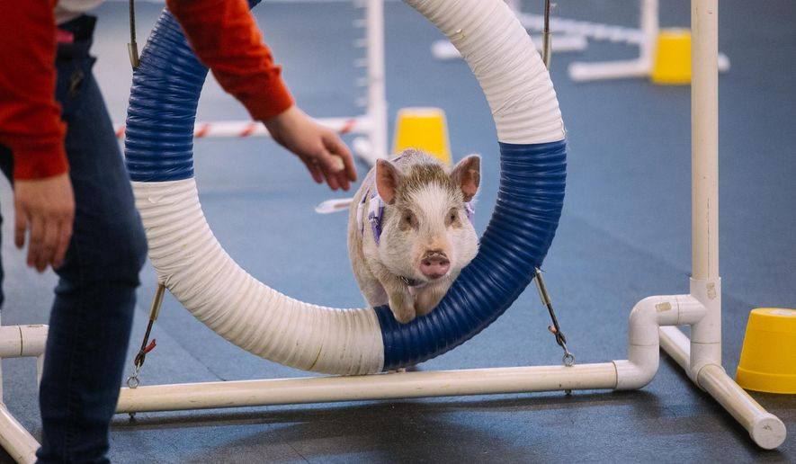 "In this photo provided by Joshua Lewis via KOMOnews.com, taken Feb. 10, 2015, ""Amy,"" an indoor pig owned by Lori Stock, goes through agility training intended for dogs at the Family Dog Training Center in Kent., Wash. Amy can do agility moves that most dogs her age cannot. (AP Photo/Joshua Lewis via KOMOnews.com)   NO SALES"