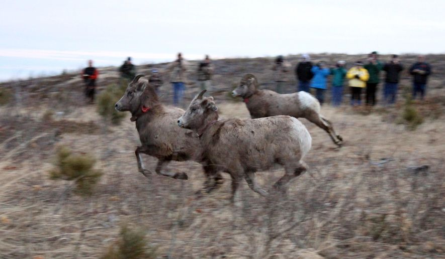 In this photo taken Thursday, Feb. 12, 2015, big horn sheep run out a trailer as they are released in the northern hills above Deadwood, S.D. On Thursday, officials with the South Dakota Game, Fish and Parks Department took advantage of the burn area and released 26 bighorn sheep they captured on Tuesday in Hinton, Alberta, Canada, just north of Jasper National Park. (AP Photo/Black Hills Pioneer, Mark Watson)