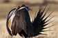 Sage Grouse US Fish and Wildlife.jpg