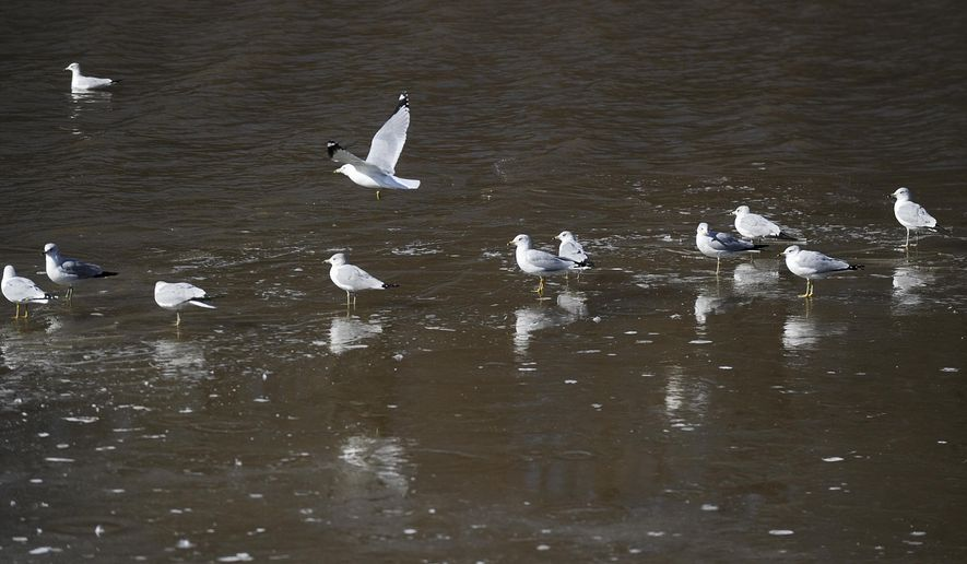 A group of gulls stand on a floating chunk of ice in the Tennessee River near Decatur Thursday, Feb. 19, 2015. (AP Photo/The Decatur Daily, Jeronimo Nisa)
