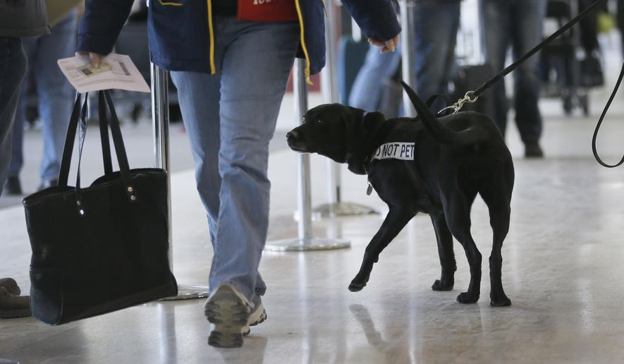 Nestle, a passenger screening canine sniffs plumes of air coming off a person to determine if it is one of the many explosive odors she has been trained to detect, at the Detroit Metropolitan Airport, Thursday, Feb. 19, 2015, in Romulus, Mich. The TSA showed off Nestle who is being used to detect explosives and explosive components at the airport. The passenger screening canines, or PSCs, are being used to identify and locate potential explosive threats at security checkpoints. (AP Photo/Carlos Osorio)