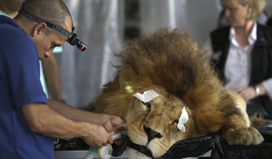 """A former circus lion named """"King"""" lays sedated as a veterinarian performs dental surgery, inside a temporary refuge for the lion on the outskirts of Lima, Peru, Friday, Feb. 20, 2015. Vets from the Animal Defenders International (ADI) are operating on lions and monkeys rescued from traveling circuses in Peru and Bolivia. According to the vets, King was removed from a circus in Nov. 2014 and is unable to chew his food properly because most of his teeth had been pulled out, or partially pulled out by his circus owners. It is illegal to use wild animals in circuses in Peru. (AP Photo/Martin Mejia)"""