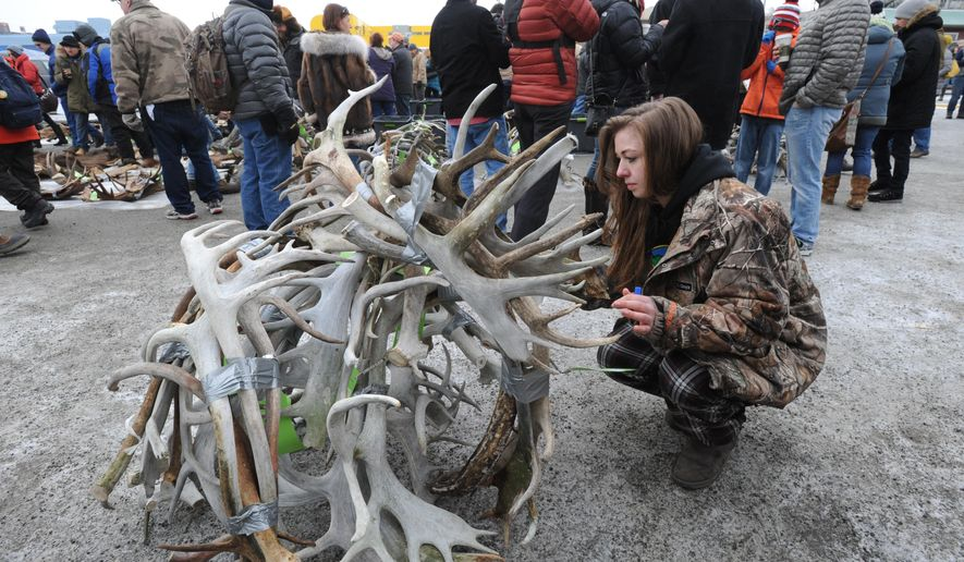 In a Sunday, Mar. 1, 2015 photo, Bailey Johnson gets a single lot of caribou antlers ready for the annual State Hide and Horn Auction held by the Alaska Trappers Association during the Anchorage Fur Rendezvous in Anchorage, Ak. An abundance of caribou antlers highlighted this year's Alaska Hide and Horn Auction, the state sale of seized pelts and antlers. (AP Photo/Alaska Dispatch News, Bill Roth)  KTUU-TV OUT; KTVA-TV OUT; THE MAT-SU VALLEY FRONTIERSMAN OUT