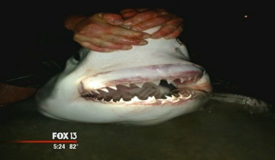 A group of Panama City fishermen became the first ever Sunday to reel in a great white shark from the Gulf of Mexico while standing on dry land. (Fox 13)