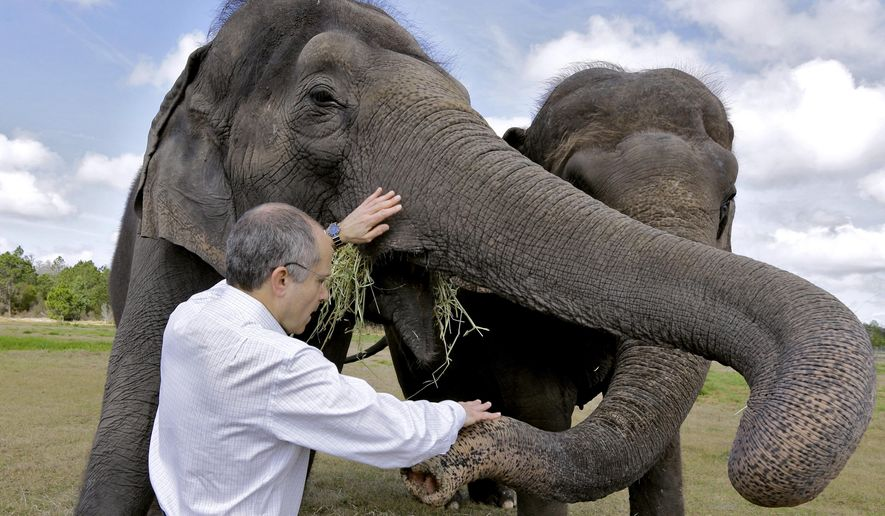 In this Tuesday, March 3, 2015 photo, Kenneth Feld, CEO of Feld Entertainment, feeds Alana and Icky at the Ringling Bros. and Barnum & Bailey Center for Elephant Conservation, in Polk City, Fla. The Ringling Bros. and Barnum & Bailey Circus said it will phase out its iconic elephant acts by 2018. (AP Photo/Chris O'Meara)