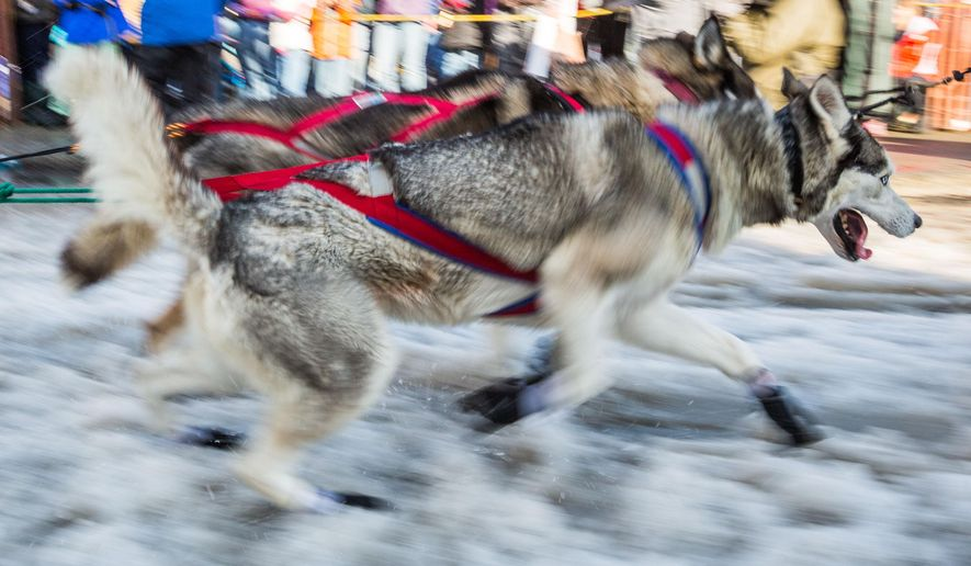 CORRECTS PHOTOGRAPHER TO LOREN HOMES- A dog in musher Isabelle Travadon's team runs down Anchorage's 4th Avenue during the ceremonial start of the Iditarod sled dog race in Anchorage, Alaska, on Saturday, March 7, 2015. A lack of snow forced race organizers to move the official start of the race to Fairbanks, but the ceremonial start remained in Anchorage. (AP Photo/Alaska Dispatch News, Loren Holmes)  KTUU-TV OUT; KTVA-TV OUT; THE MAT-SU VALLEY FRONTIERSMAN OUT